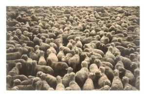 big-flock-of-sheep
